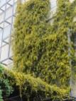 カロライナジャスミン 学校のゲートを覆う花
