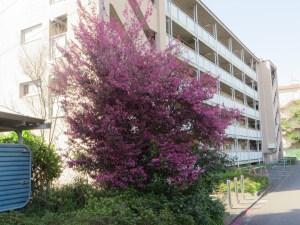 トキワマンサク 満開の木の全景
