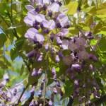 フジ 咲き始めた藤の花