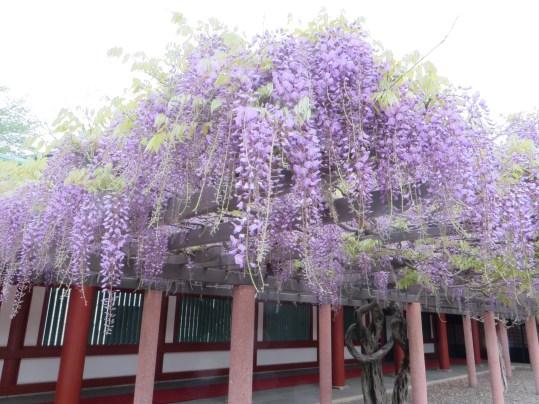 フジ 長く伸びた藤の花