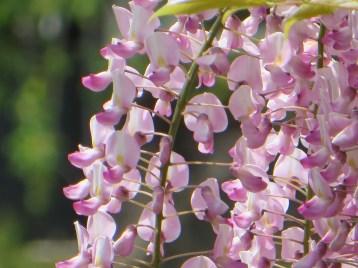 フジ ピンク系の花のアップ