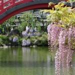 フジ 太鼓橋をバックにピンクの花