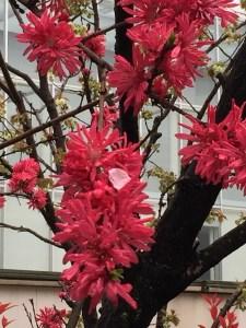 モモ 菊桃 花のアップ