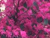 トキワマンサク 風にそよぐ満開の花