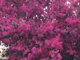 トキワマンサク 花の様子
