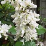 ハナズオウ 白花のアップ