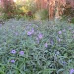 ヤナギバルエラソウ 群生する花の様子