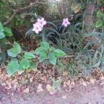 ヤナギバルエラソウ ピンク系花の様子