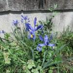 ダッチアイリス 植物の全景