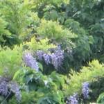 フジ 野生化した藤の花