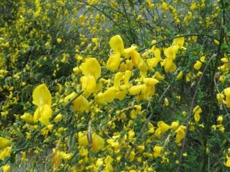 少し満開を過ぎたエニシダの花のアップ