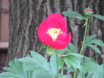 シャクヤク 赤色系の鮮やかな花