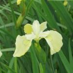 ハナショウブ 黄色系の花アップ