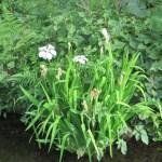 カキツバタ 植物全体の様子