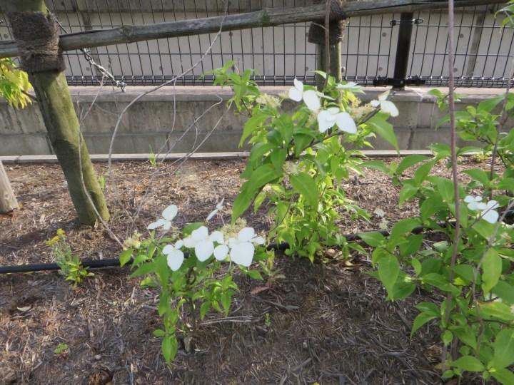 ガクウツギ 花と木の様子