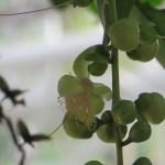 Barringtonia/ サガリバナ