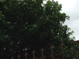 ゲッキツ 木全体の様子