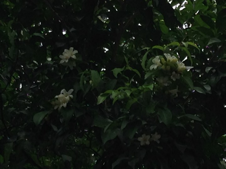 ゲッキツ 花の様子