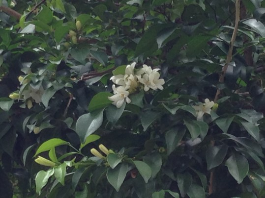 ゲッキツ 花と枝の様子