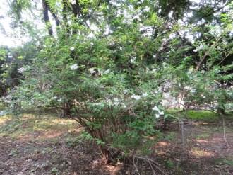 キバナウツギ  木の全景