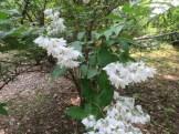 キバナウツギ 花の姿