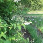 ウツギ 菖蒲田の横で咲く空木