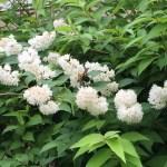 シロバナヤエウツギ 花と枝の様子