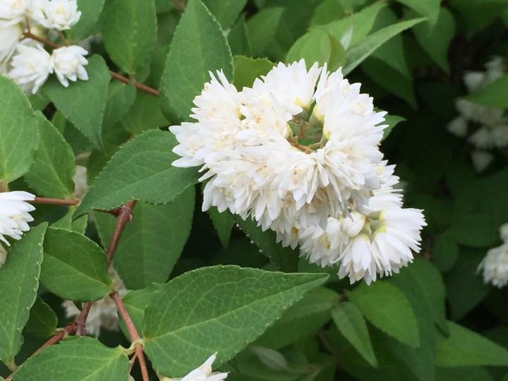 シロバナヤエウツギ 花の様子