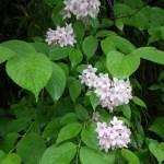 五箇山の田の横で咲いていたタニウツギ