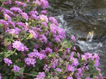 川辺に咲くコバノランタナ