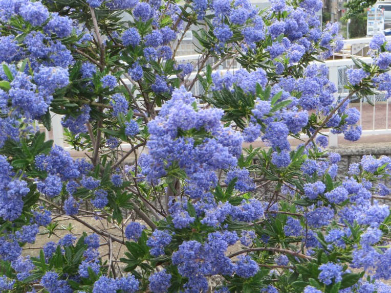California lilac/ セアノサス