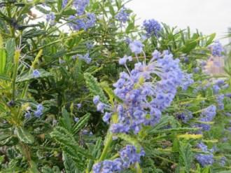 セアノサス 花のアップ