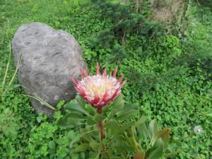 キングプロテア 花の様子