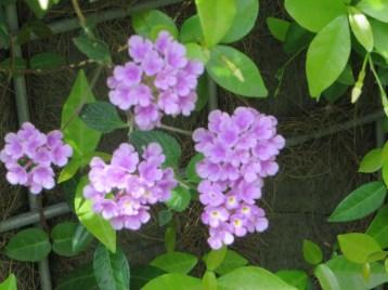 コバノランタナ 花のアップ