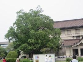 ユリノキの巨木