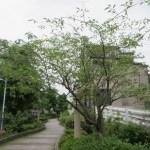 マユミ 木の姿