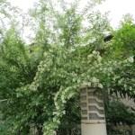 イボタノキ 花のついた木の様子