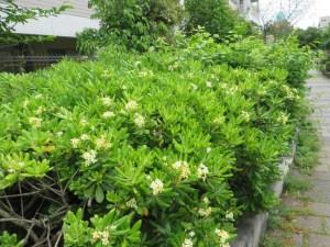 トベラの花のついた木の様子