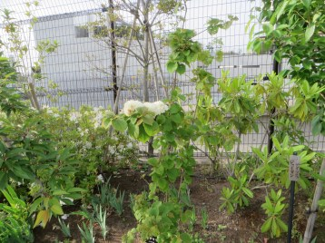 オオデマリ 木の様子
