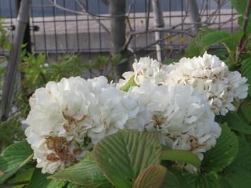 オオデマリ 花のアップ