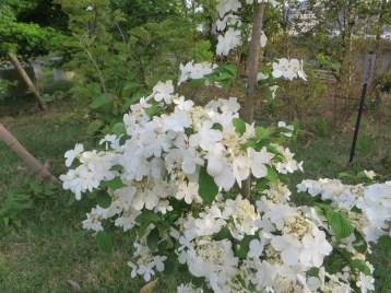 ヤブテマリ 花の姿