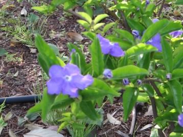 ニオイバンマツリ 若い植物