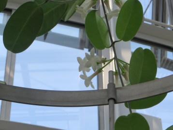 マダガスカルジャスミン 蔓の先の花の様子