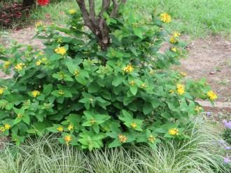 コボウズオトギリ 植物の姿