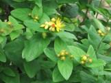 コボウズオトギリ 花の様子