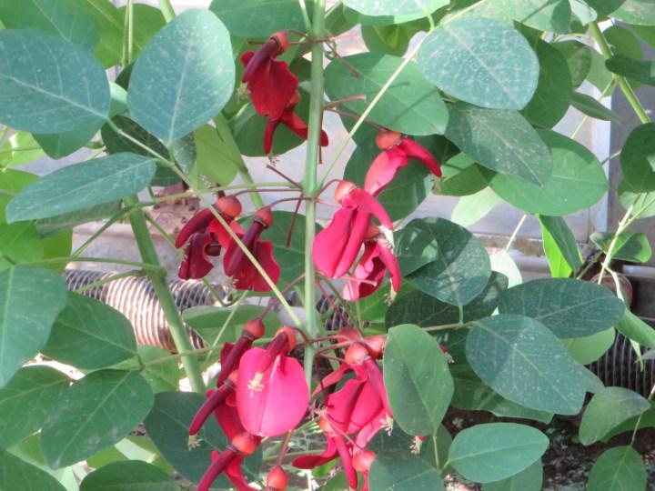 アメリカディエゴ Cockspur coral tree Flowers