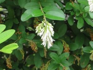 イボタノキ 花の姿