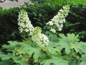 まだ若いカシワバアジサイの花