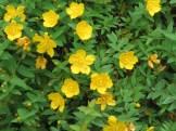 タイリンキンシバイ(ヒペリカム・ヒドコート)花の姿