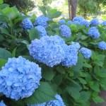 アジサイ 青色系